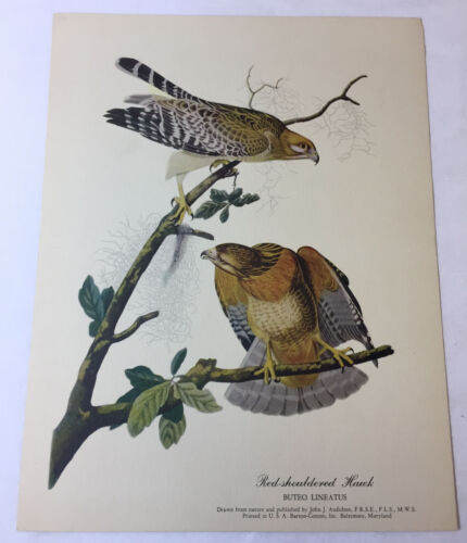 1951 print ~ RED-SHOULDERED HAWK Buteo Lineatus ~ 8.5x11 inches