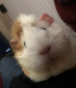 Bonded 3 yr old Guinea Pig sister