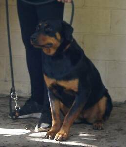 rottweiler | Dogs & Puppies | Gumtree Australia Free Local Classifieds
