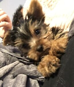 Yorkie Adopt Or Rehome Pets In Edmonton Kijiji Classifieds