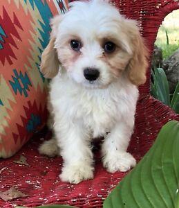 Cavachon male puppy