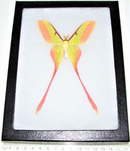 Actias dubernardi pink green saturn moth male China RARE framed