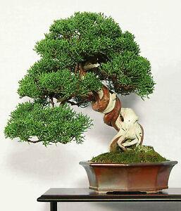 CHINESE-JUNIPER-50-seeds-Juniperus-chinensis-BONSAI