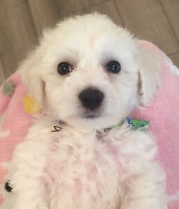 6 new Bichon Frise puppies ready to rehome this weekend