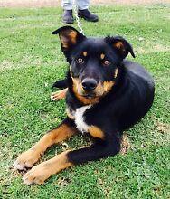 Kelpie Working Farm Dog Needs New Farmer Perillup Plantagenet Area Preview