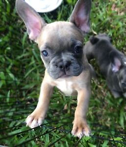 Blue Fawn Sable Male French Bulldog