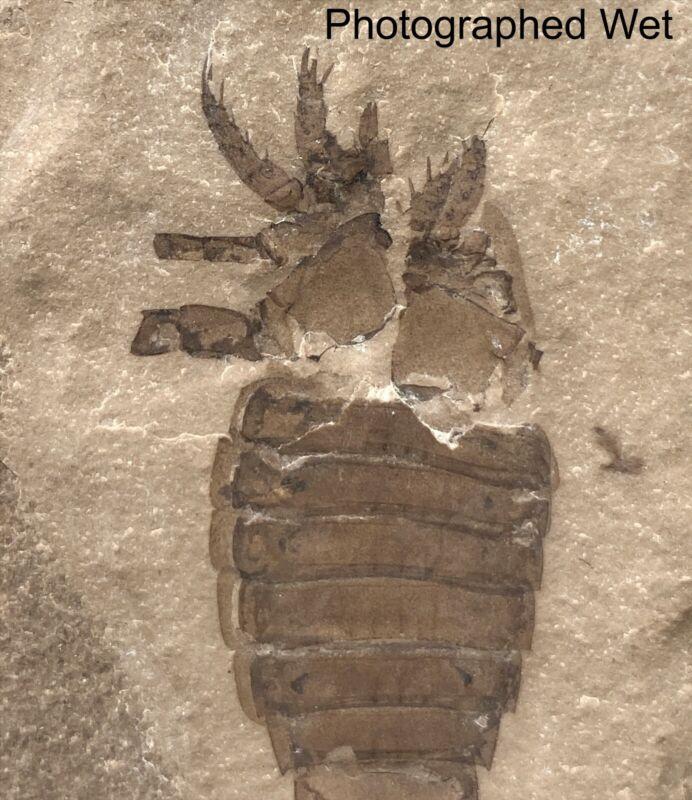 3 3/8 inch Silurian eurypterid from bertie fm, new york - eurypterus remipes