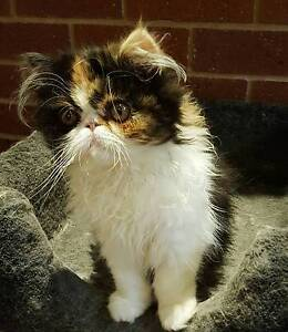 Purebred Persian Kitten Roxburgh Park Hume Area Preview