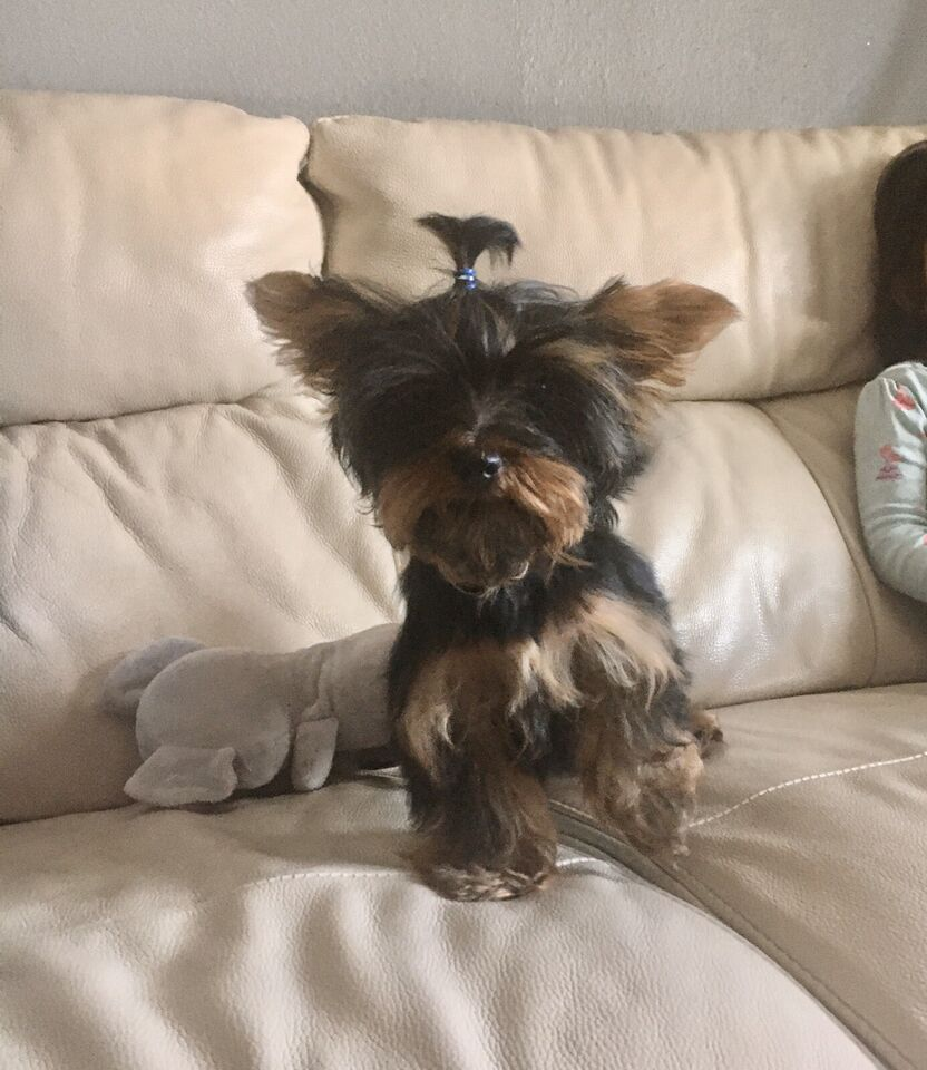 Purebred Yorkie Male Puppy Dogs