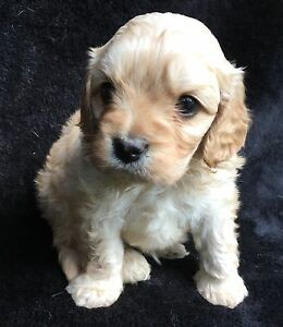 Gorgeous toy cavoodle puppies Morisset Lake Macquarie Area Preview