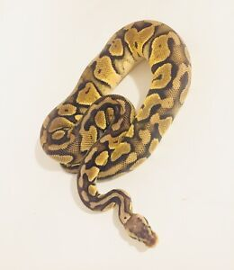 Pastel het clown female ball python