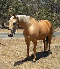 Palomino  registered Studbook Quarter Horse mare Geelong 3220 Geelong City Preview
