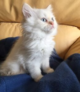 Two months old pure breed Himalayan flame point kitten