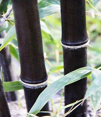 1 Exotic 'Black Bamboo' BUDDING Bamboo Rhizome/Root 1 foot (Phyllostachys nigra) Tropical Black Bamboo