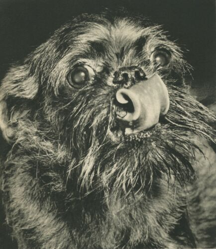 BRUSSELS GRIFFON DOG FACE Vintage 60 year-old Full Page Photo Print