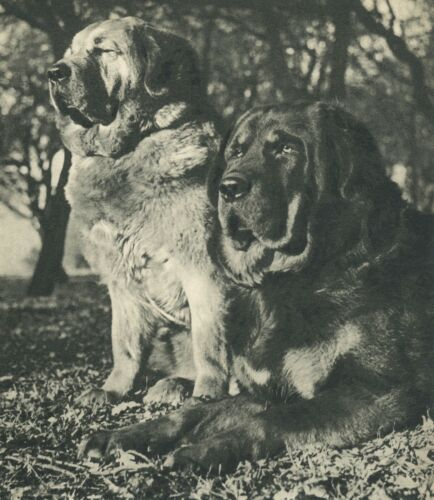 HANDSOME TIBETAN MASTIFF DOGS Vintage 60 year-old Full Page Photo Print