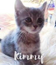Kimmy - KITTEN KAPERS RESCUE Redland Bay Redland Area Preview
