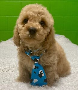 Toy Poodle | Adopt Dogs & Puppies Locally in Ontario | Kijiji
