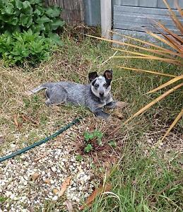 Blue Heeler Female Puppy For Sale Broadford Mitchell Area Preview