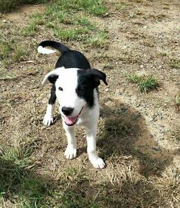 Short Haired Border Collie cross Puppies for sale