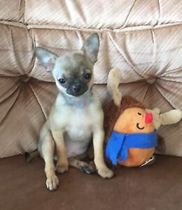 ADORABLE APPLEHEAD CHIHUAHUA BABIES!! Only 2 left!!