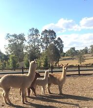 Rocky Male entire alpaca Exmouth Exmouth Area Preview