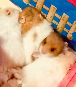 Only one Syrian Hamster left 1 for Rehoming