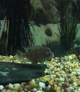 Humphead cichlids for sale Beenleigh Logan Area Preview