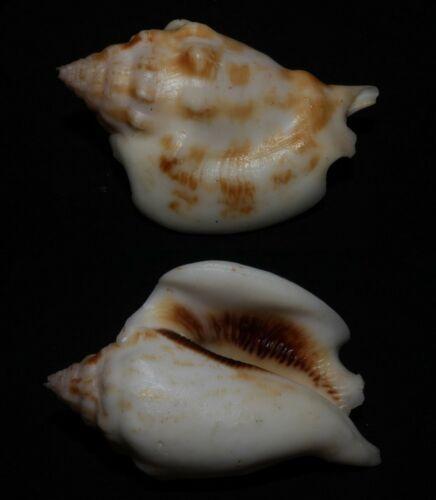 Seashells Strombus kleckhamae boholensis 51.2mm F++ Superb Pattern and Color