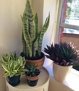 Plants for sale $35-$70 Vaucluse Eastern Suburbs Preview