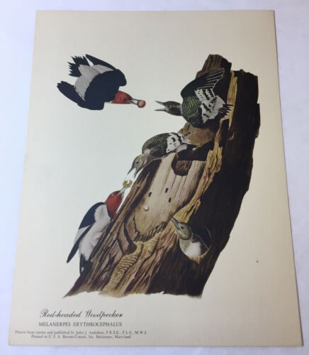 1951 print ~ RED-HEADED WOODPECKER Melanerpes Erythrocephalus ~ 8.5x11 inches