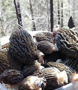 Fresh handpicked morel mushrooms for sale