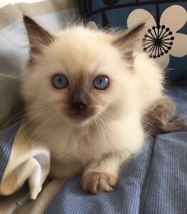 Purebred Chocolate Point Ragdolls Desexed with Pedigree Papers! Quakers Hill Blacktown Area Preview