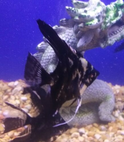 Dark Marble Angels  6 Fish