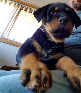 Tasmania | Dogs & Puppies | Gumtree Australia Free Local ...