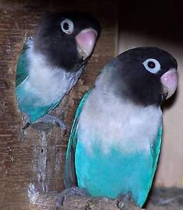 Blue masked love birds Riverside West Tamar Preview