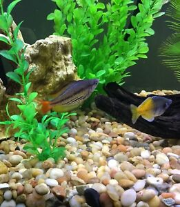 Young adult and sub adult rainbowfish