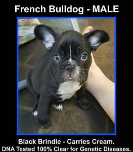 French Bulldog Puppy Male Black Brindle carries Cream. DNA Tested Park Ridge Logan Area Preview