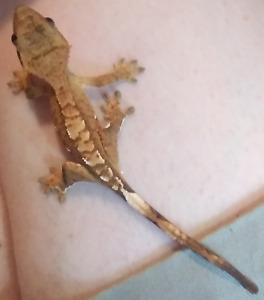 Crested Gecko Babies for sale $25