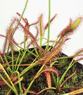 Pack of Sarracenia seeds 2019//2020 carnivorous plants rare MIX