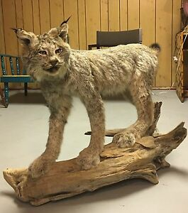 Taxidermy lynx mount