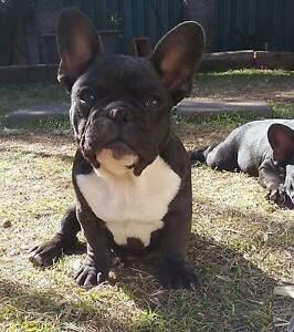 Male french bulldogs Mount Isa Mt Isa City Preview