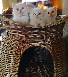❤️ HIMALAYAN &HIMALAYAN RAGDOLL Kittens!