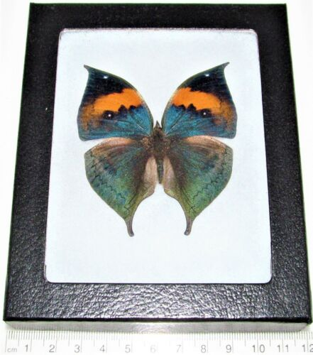 REAL FRAMED BUTTERFLY LEAF MIMIC BLUE GREEN KALLIMA INACHUS CHINA