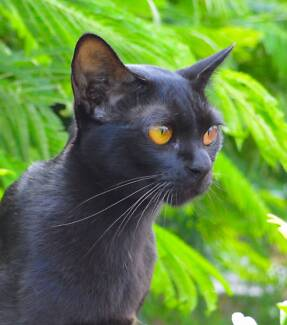 MANDALAY - THE BLACK BURMESE - OWN YOUR OWN LITTLE BLACK PANTHER