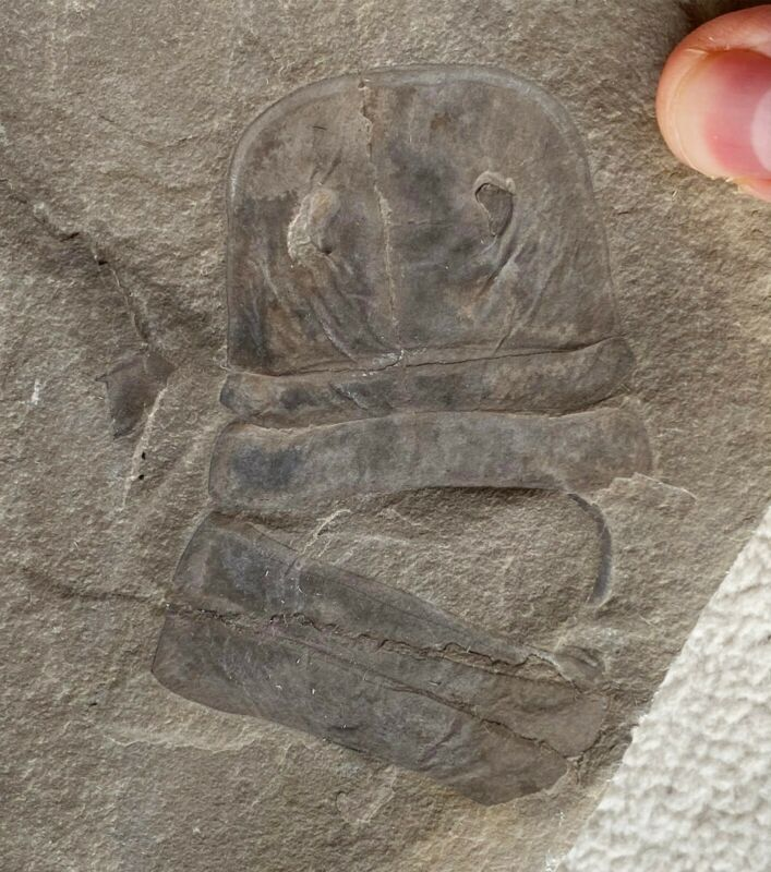 Big Silurian eurypterid from bertie formation, new york - eurypterus remipes