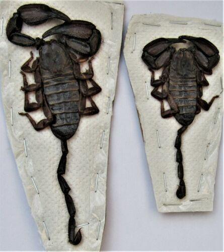 Rare African Flat Rock Scorpion Hadogenes paucidens Female FAST FROM USA