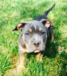 Rare blue try puppies 10 wks ready to go! adorable  UKC reg'd