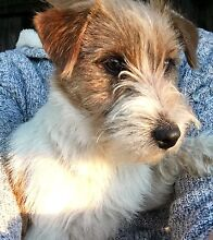 PURE BRED JACK RUSSELL PUP Rosewood Ipswich City Preview