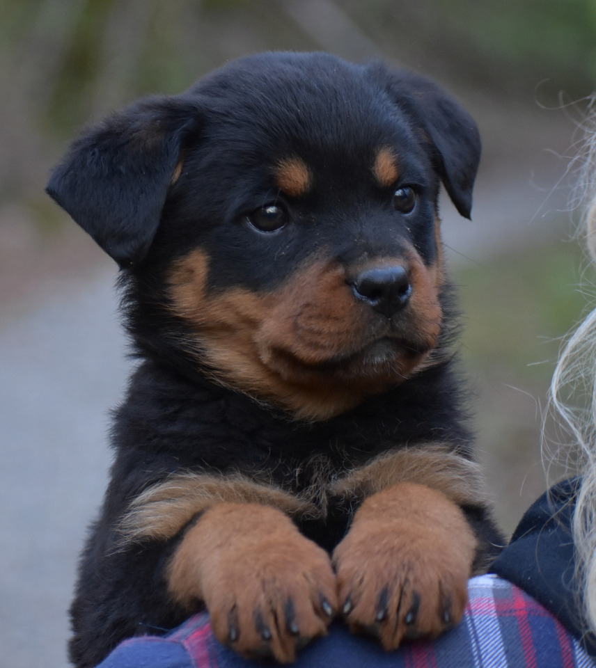Purebred Female Rottweiler Puppies Dogs Puppies For Rehoming